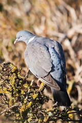 Common Wood Pigeon, Wood Pigeon, Columba palumbus