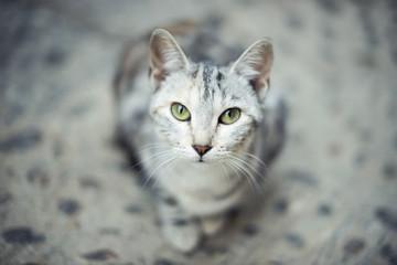 Retrato de gato gris sentado en el suelo mirando a cámara directamente con ojos verdes intensos