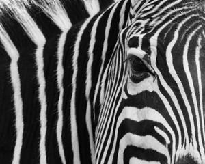 Wall Murals Zebra zebra, animal, black, skin, stripes, white, africa, pattern, texture