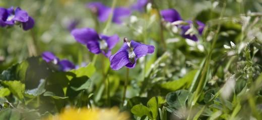 Violets in Macro