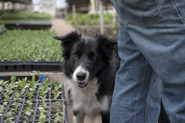 Border Collie in greenhouse