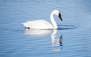 A lonely swan is swimming at icy lake in early spring of Minnesota