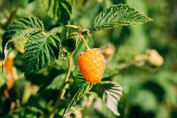 Yellow raspberry variety close-up berry