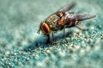 Housefly closeup