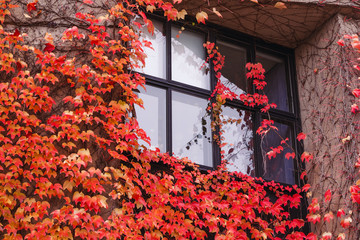 Red leaves of grapes on a stone wall – best picture for Canada day or wine holyday. Beautiful wall decoration with red grapes leafs. Great wall texture with bindweed red.