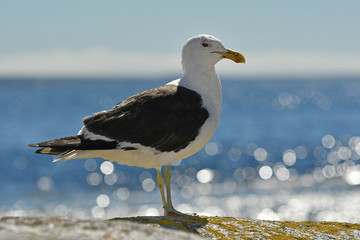 Kelp Gull or Dominican Gull, Larus dominicanus.