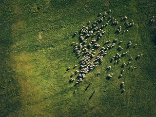 Aerial View Flock Of Sheep
