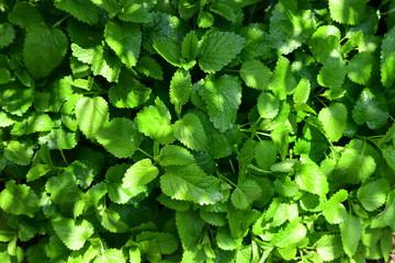 家庭園芸、ハーブ、新緑イメージ素材、丈夫なレモンバーム