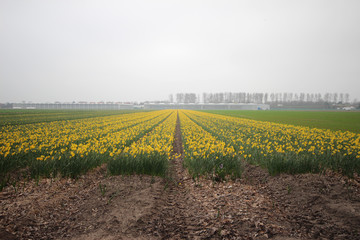 Daffodils in a field in the area of Lisse close to the Keukenhof, famous about the colorful fields during spring in the Netherlands