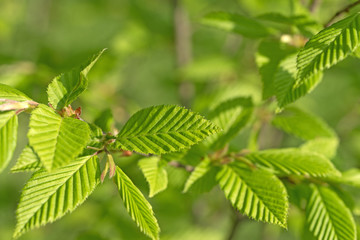 Europäische Hopfenbuche, Ostrya carpinifolia