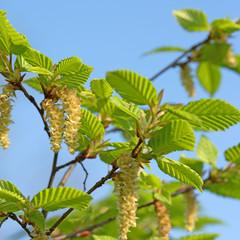 Hopfenbuche, Ostrya, männliche Blüten