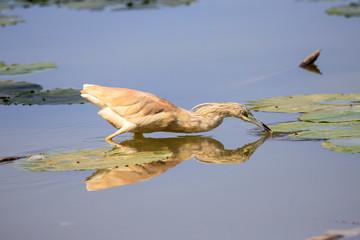 Sgarza ciuffetto (Ardeola ralloides) con preda catturata
