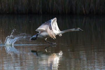 one mirrored mute swan (cygnus olor) takeoff, water surface, spread wings, reed