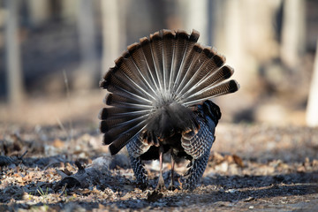 The rear of a strutting turkey with his tail fanned out.