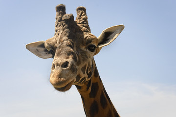 Portrait of a young giraffe, controlled conditions