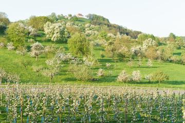 Obstblüte im Frühling auf der Streuobstwiese
