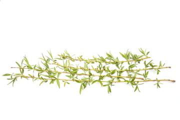Green  willow branches isolated on white background. Spring tree branches with young leaves.