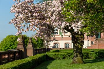 Kirschbaum im Garten des Standesamt Höchst in Frankfurt am Main