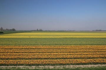 Yellow and red-yellow tulips in a row on a flower field in Oude-Tonge in the Netherlands