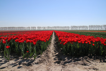 "row of red tulips type ""rescue"" in sunlight in rows in a long flower field in Oude-Tonge on the island Goeree Overflakkee in the Netherlands."