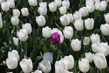 purple tulip lost in row of white tulips in sunlight in rows in a long flower field in Oude-Tonge on the island Goeree Overflakkee in the Netherlands