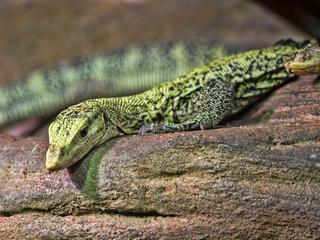 The Emerald Monitor, Varanus prasinus, is a tree lizard