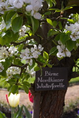 Birne - Nordhäuser Winterforelle