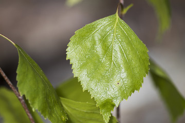 Green leaf of a birch full of detailed veins