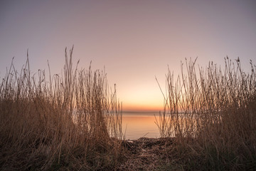 Rushes by a lake in the sunrise