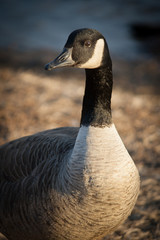 Goose By the Lake