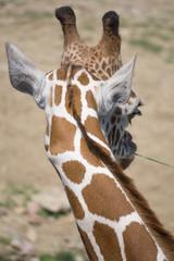 Giraffe (Behind)