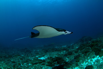 Manta Ray gracefully gliding by at cleaning station