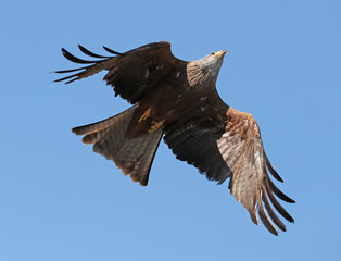 Close up of a yellow billed Kite in flight against a blue sky