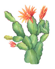 Flowering cactus Schlumbergera the house plants commonly called Christmas or Thanksgiving cactus. Hand drawn watercolor painting illustration isolated on white background.