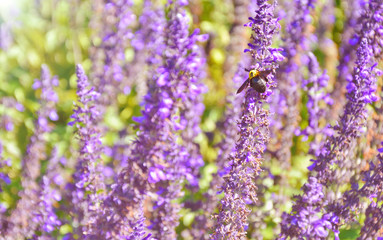 Lavender garden and Xylocopa latipes with Purple filter  and lens flare