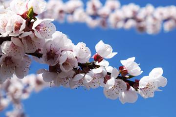 Apricot blossom. Fresh spring backgrund