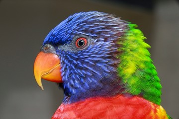 Closeup of Blue, Green, Red and Yellow Lorikeet in Profile in the Aviary at Butterfly World, Pompano Beach, Florida