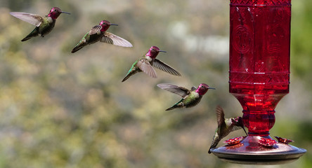 Multiple Images of a Hummingbird in Flight