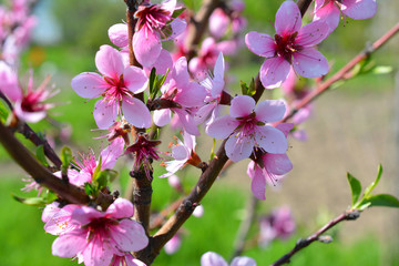 Sweet pink flowers blooming peach in the spring garden. Blossoming fruit tree.