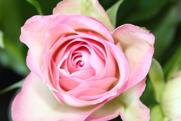 Beautiful bouquet of pink roses. Close-up. Background.