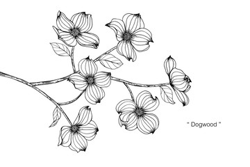 Dogwood flower drawing illustration.