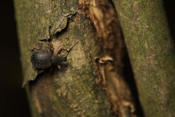 Curculionide / Curculionidae
