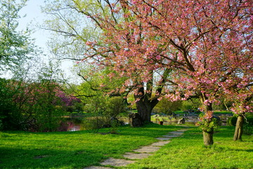 pink flowers blossomed Japanese cherry trees