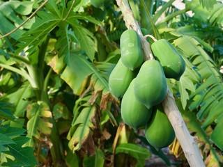 Papaya growing on the tree