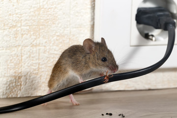 сloseup mouse gnaws wire  in an apartment house near wall and electrical outlet . Inside high-rise buildings. Fight with mice in the apartment. Extermination. Small DOF focus put only to wire.