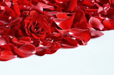 Red rose and rose petals on white background. flower with water drops for wallpaper