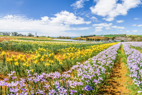 Beautiful view to fields of wonderful colored flowers plants tulips cloves blossom warm sunny summer spring day with blue sky relaxing nature landscape, Table Cape Tulip, Wynyard, Tasmania, Australia