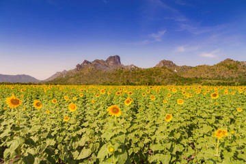 Sunflower filed with mountain and blue skyline natural landscape background