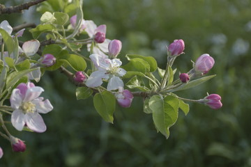 Flor, flores demanzano, a contraluz, al atardecer