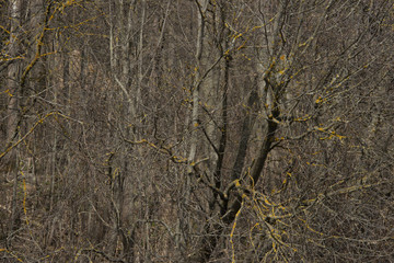 BACKGROUND, TEXTURE - a thicket of the gray wood